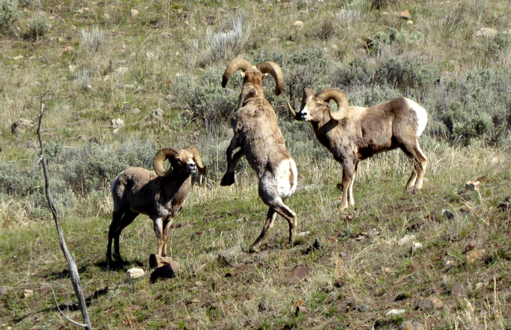 Dance of the Bighorn Rams, Yellowstone National Park