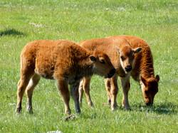 The Three Amigos, Yellowstone Style