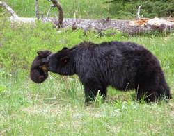 Playful Black Bear Cub, Yellowstone National Park