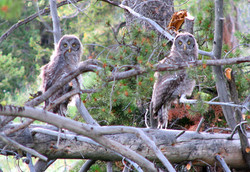 Great Gray Owlets, Yellowstone National Park