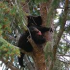 A black bear cub climbs a tree in Yellowstone park
