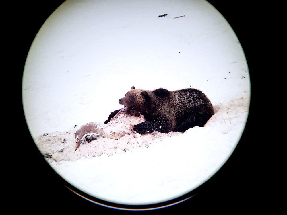 A Yellowstone grizzly feeds on a carcass in early spring, as seen through a spotting scope