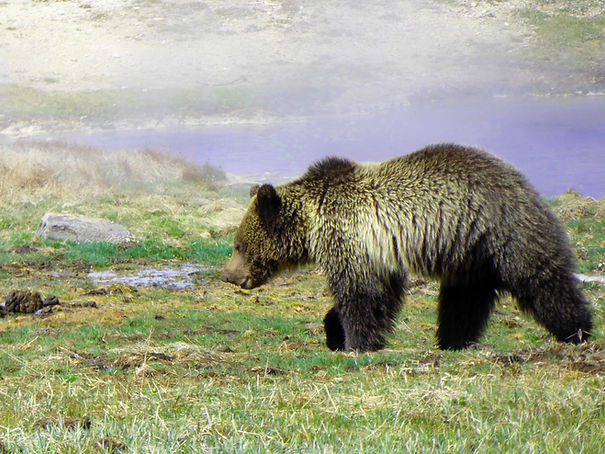 Grizzly Bear walking by a geyser, one of