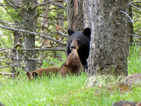 Snuggling black bear sow and cub, Yellowstone Park