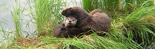 River otter and pup resting on a log in Yellowstone