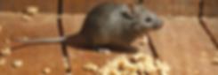 Dedetização contra ratos