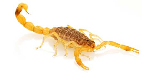 Escorpião amarelo gera alerta em Mandaguari