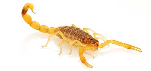 Escorpião Recife Dedetização