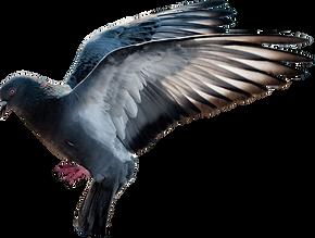 afungentamento de pombos