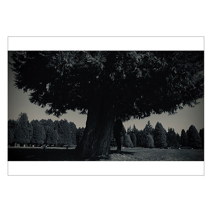 THIS TREE NEAR JIMI'S GRAVE-IMG4314 | Idan Cruz