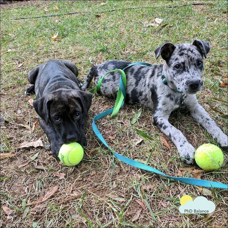 Picture of Hermes and Athena as puppies, lying on the ground and playing with bright green tennis balls.