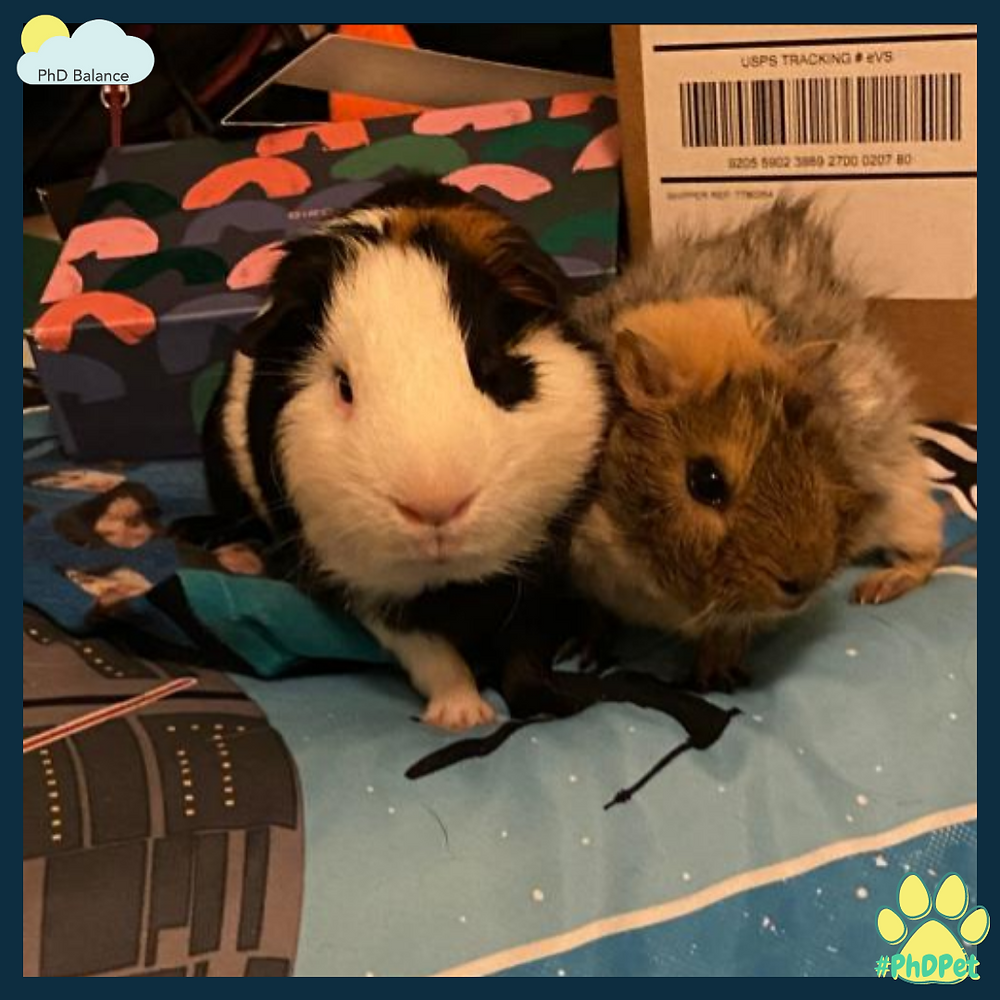 Picture of two guinea pigs standing on a bed - one is black and white which is Piggy Smalls and and one brown called Nugget.