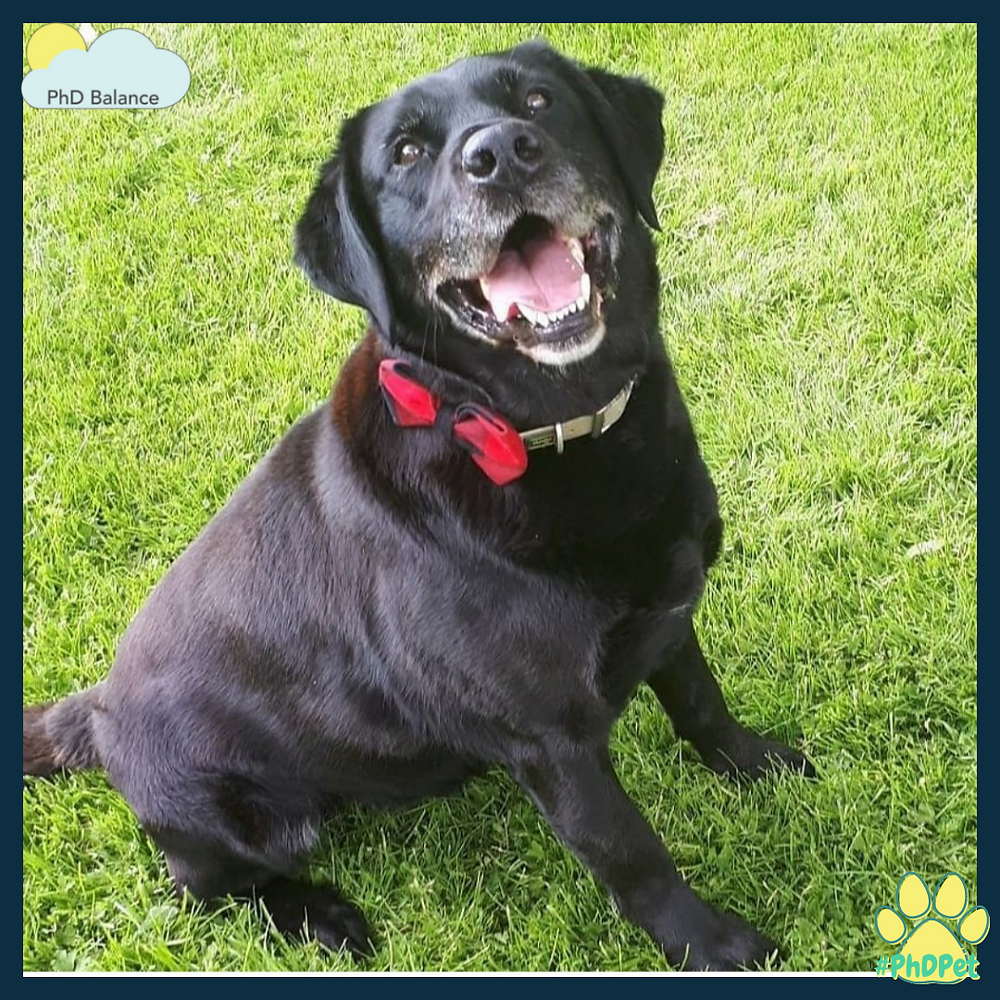 Picture of a Labrador-Collie mix dog that looks mostly lab, he is fully black except for the grey hair around his mouth and chin. He is sitting on some grass while wearing a red tartan bow tie on his collar and looking happily with his mouth open at something off camera.