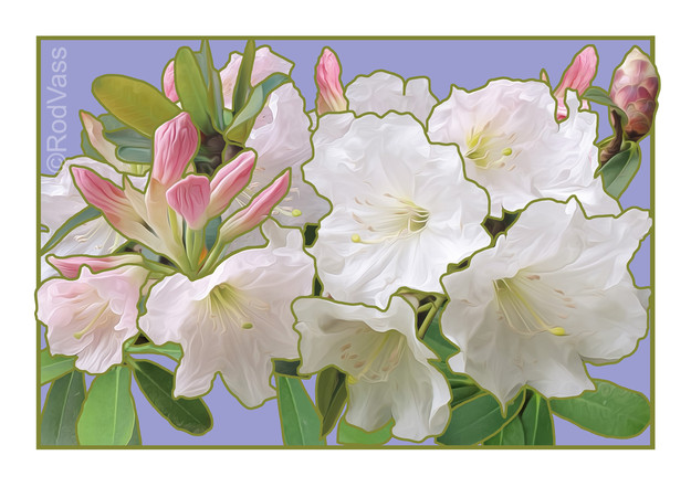 White Rhododendron - By Rod Vass