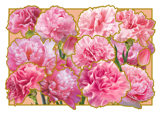 Carnations Pink - By Rod Vass