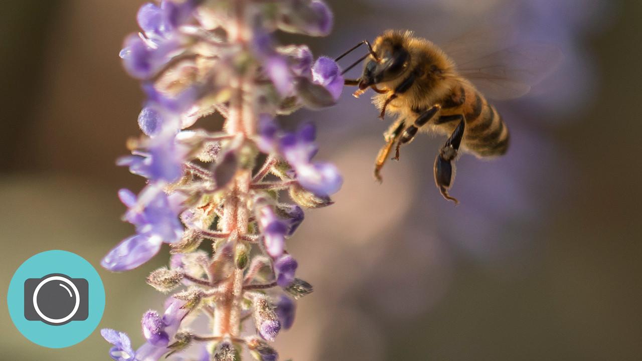 macro bee.jpg