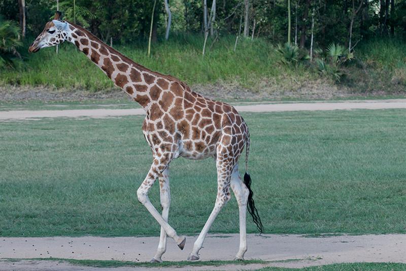 aus zoo giraffe.jpg