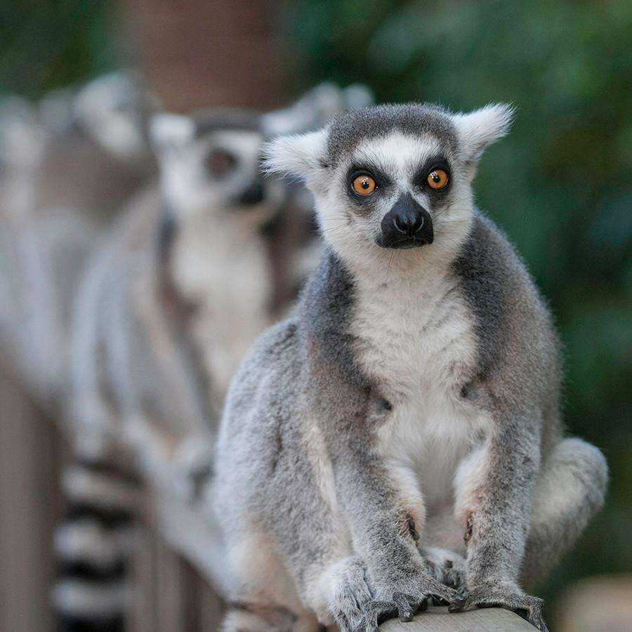 lemur crop.jpg
