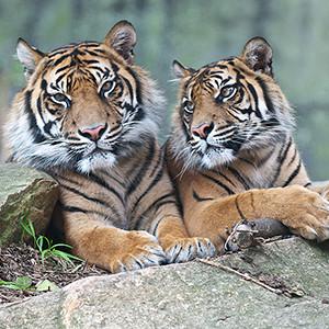 aus zoo tigers.jpg