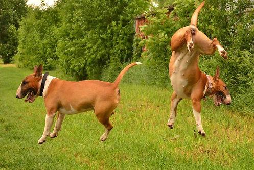 bull terrier / bullteriér