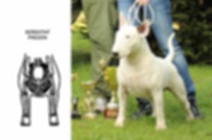 standard of bull terrier: forequarters / štandard bullteriéra: ramená