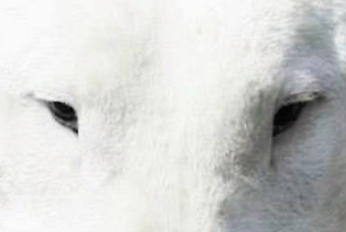 eyes of bull terrier / oči bullteriéra