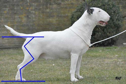 standard of bull terrier: hindquarters / štandard bullteriéra: stehná