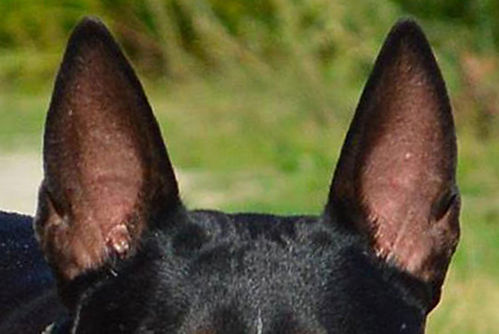 ears of bull terrier / uši bullteriéra