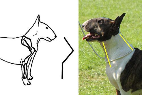 standard of bull terrier: neck / štandard bullteriéra: krk