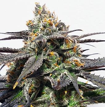 Banana Punch Riveside Cannabis Greenery