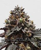 Gelato #33, Riverside Cannabis Greenery Aubu