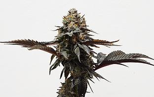 OGKB-BX2 Riverside Cannabis Greenery, Au