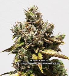Skywalker OG Riverside Cannabis Greenery