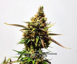 SLH - Riverside Cannabis Greenery Auburn Me