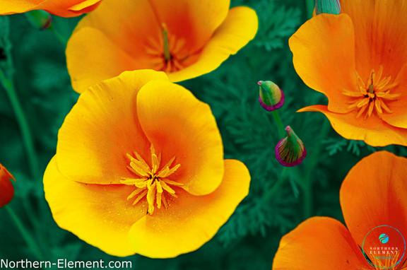 Novus Flor