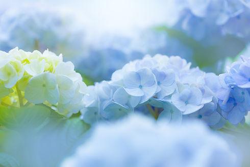 淡い青の紫陽花