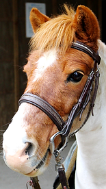 Brown Pinto Miniature Horse with white star and snip on face