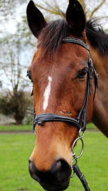 Bay horse with white stripe on face
