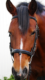 Bay Horse with white interrupted stripe on face