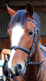 Bay Welsh Cob pony with white blaze on face