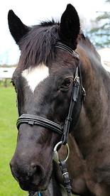 Black Pinto horse with white star on face