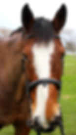 Bay Clydesdale Cross Horse with white blaze on face