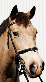 Buckskin Horse with white snip on nose