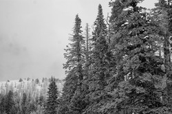 ColdPines