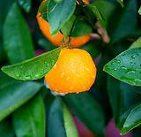 mandarin-yellow-essential-oil-organic.jp