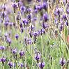 Close up of Lavender.jpeg