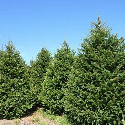Spruce Norway-Picea abies