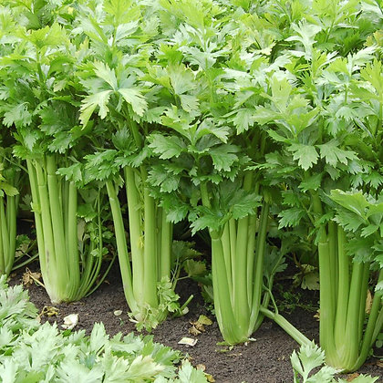 Celery- Tango