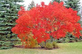 Flame Amur Maple- 'Acer ginnala'