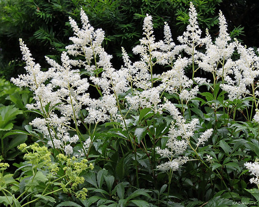 Astilbe- Visions in White